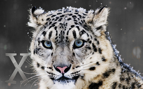 Snow Leopard_2